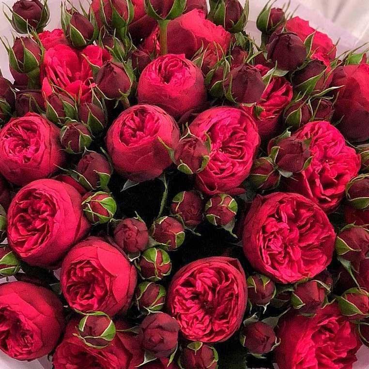 Пионовидные кустовые розы Ред Пиано №0892
